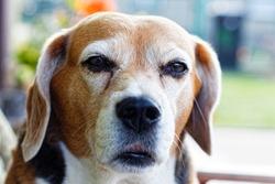 Old beagle dog looking straight ahead