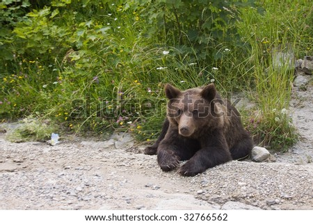 Old Bear resting on the side of the road - stock photo