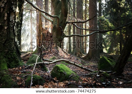 Old beech and the stump of felled trees. Forest near a small village Pasterka in Poland, Table ( Stolowe ) Mountains.