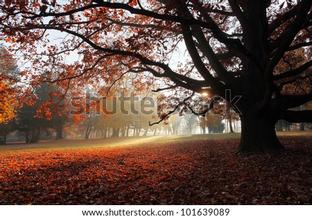 Old beech tree in autumnal park