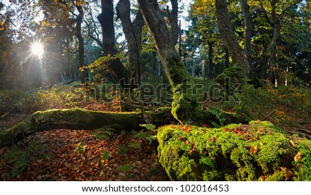 Old beeches with moss in morning light in Autumn