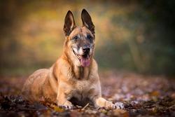 Old Belgian shepher dog