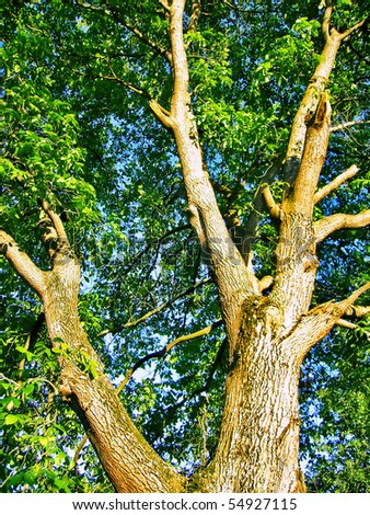 Old big walnut tree
