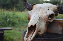 Old bison skull with horn on the nature background. Design concept.
