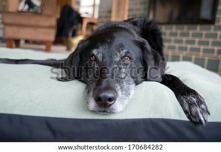 Old Black Dog with Gray Muzzle Relaxing at Home