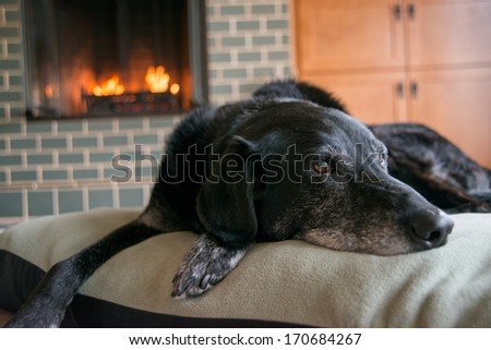 Old Black Dog with Gray Muzzle Relaxing at Home by Fireplace