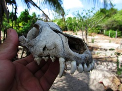 old bone, of the dog's head, found in Maranhão