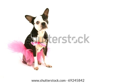 Old boston terrier with a pink tutu and a bow around the neck on a white background
