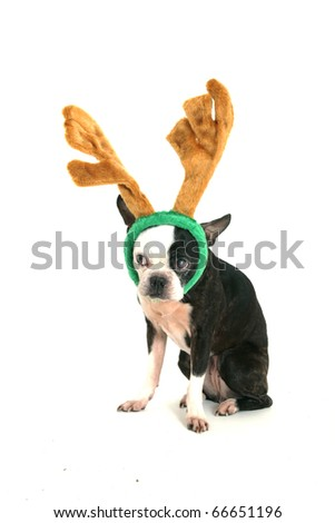 Old boston terrier with christmas horn on head looking on left on white background - stock photo