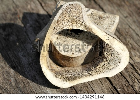 Old bovine bones in detail #1434291146