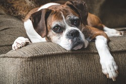 Old Boxer Dog