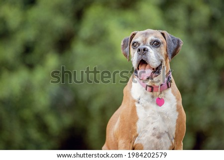 Old Boxer dog with a green background Foto stock ©