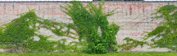 Old brick wall overgrown with wild grapevine.