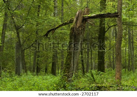 Old broken tree, early autumn forest,middle europe,poland,bialowieza forest
