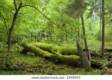 Old broken trees , summer forest,middle europe,poland,bialowieza forest