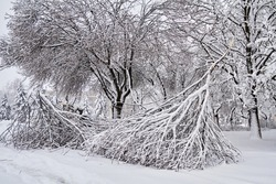 Old broken trees under the weight of snow. Weather collapse in the city. Heavy snowfall brokens down trees