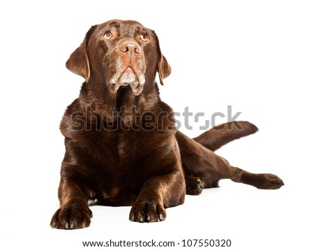 Old brown labrador dog isolated on white background. Studio shot.