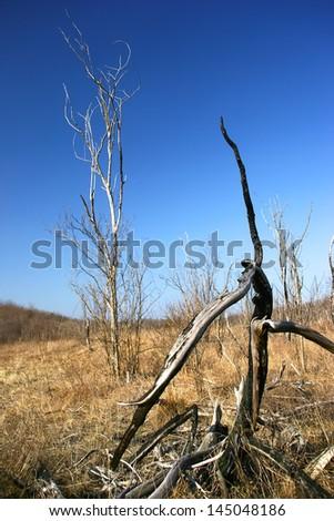 Old burned tree