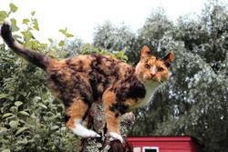 Old calico cat, Felis catus standing on an apple tree in the garden in summer. Almost every tricolor cat is female, about one in every 3,000 calico cats is born a male