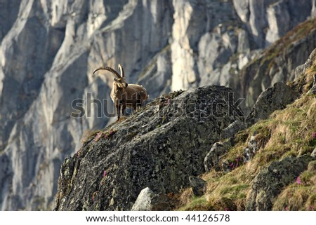 Old capra ibex standing on a rock #44126578