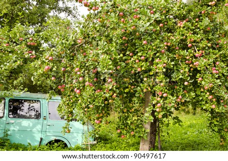 old car and apple tree in the summer garden