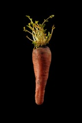 Old carrot with new young sprouts from the top on blackbackground.