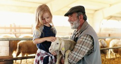 Old caucasian grandfather with gray beard and small cute granddaughter playing with lamb and caressing it in stable. Senior man holding animal at farm and pretty little girl petting it.