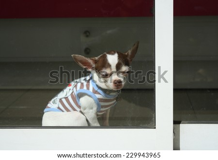old chihuahua dog wearing dress\'s dog enjoying sun bath (feel sleepy)