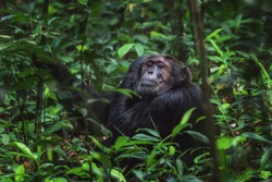 Old Chimpanzee sitting on a branch in Kibale Forest national Park Uganda looking into the cameralens while scratching his head