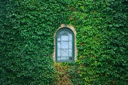 Old church window surrounded by creeping ivy plants