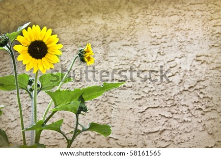 Old Clay Wall with empty space for text ans yellow beautiful flower