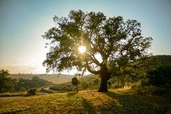 Old Cork oak tree (Quercus suber) in evening sun, Alentejo Portugal Europe