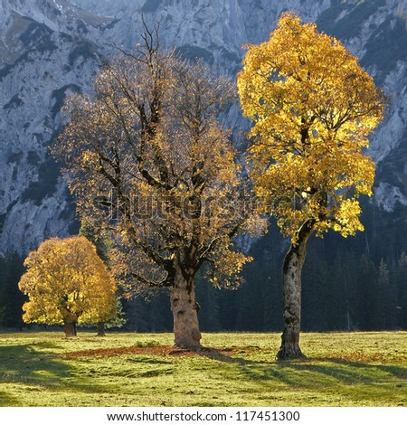 old cracked maple trees on a valley bottom in the austrian alps, autumnal trees with back lighting