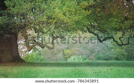 Old Craggy Oak Tree - misty middle distance, beautiful wide tree trunk on left side with vast hanging branch reaching across and a gap beneath providing copy space