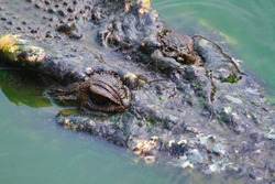 Old crocodiles in a pond full of dirty green algae, polluted water. Large crocodiles live long Scratched skin surfaced above the water to hunt for prey.