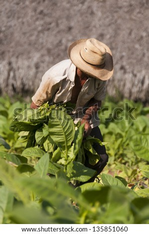 Old cuban farmer on the tobacco field, Cuba