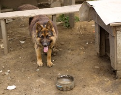 Old cute abused german shepherd dog on chain on messy yard in Slovak gypsy village