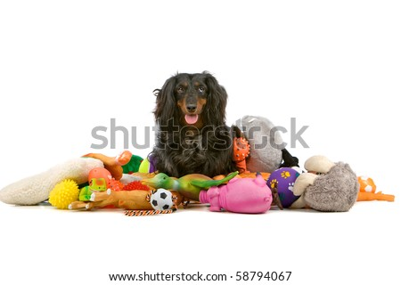 old dachshund sitting on a pile of toys