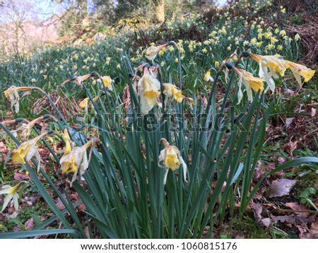 Old daffodils, Rydal Water, Lake DIstrict, Cumbria, England #1060815176
