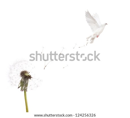 old dandelion and flying dove isolated on white background