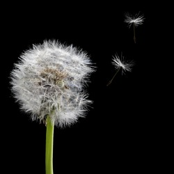 old dandelion and flying seeds isolated on black background