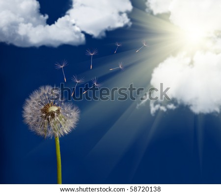 old dandelion and flying seeds on sky background