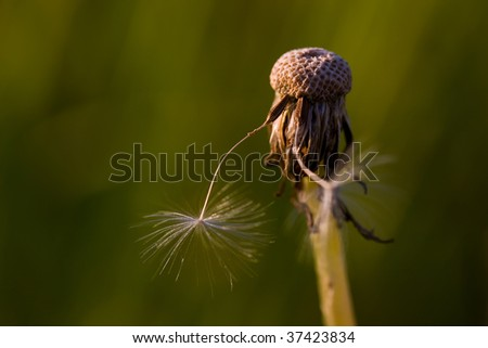 Old dandelion closeup