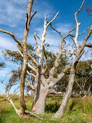 Old dead oak tree, Quercus robur, with bare branches in dune nature reserve on West Frisian island Vlieland, Netherlands