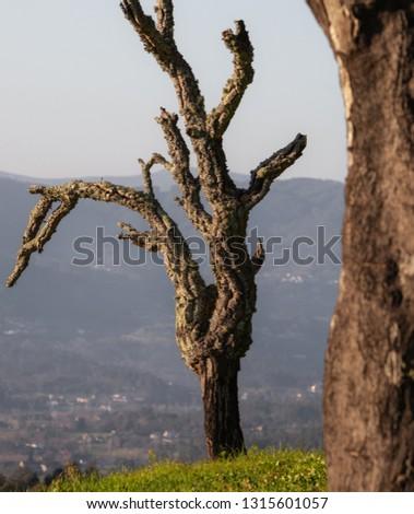 Old dead tree at the Lanhoso Castle in Povoa de Lanhoso, Portugal.
