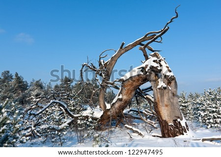 Old dead tree in winter forest