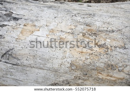 Old dead wood trunk with hundreds of shipworm holes, texture background #552075718