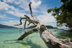 Old death tree along the beach,Thailand