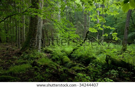 Old deciduous stand of Bialowieza Forest Landscape Reserve just before sunset in summer
