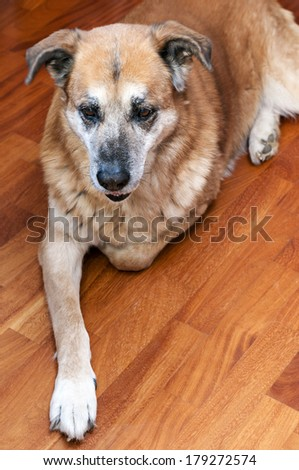old dog crouched